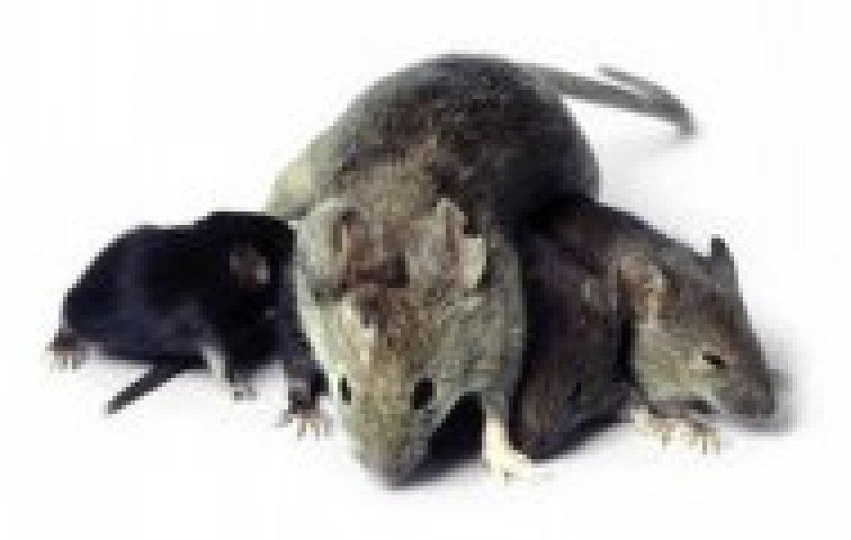 Dispositivi ad ultrasuoni per topi, quando, come, dove usarli