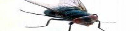 Invasione di mosche in casa? Ecco i rimedi