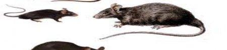 Ratti e topi, classificazione e disinfestazione.