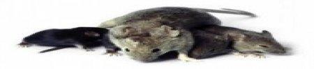 Derattizzazione con ultrasuoni per topi