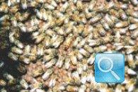 Disinfestazione delle api, consigli ed accorgimenti naturali per allontanarle