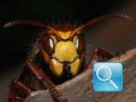 Risolvi definitivamente i fastidi dei nidi di calabroni.