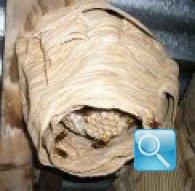 Nido di calabroni, consigli utili sulla rimozione