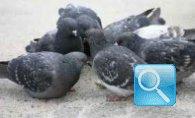 Come mandare via i piccioni, tantissime soluzioni